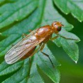 Миниатюра к статье Народное средство против морковной мухи