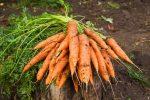 Миниатюра к статье Необычный способ посадки моркови