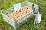Миниатюра к статье Пред посадочная обработка картофеля