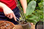 Миниатюра к статье Уход за орхидеями в горшке в домашних условиях