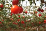 Миниатюра к статье Возможны ли совместные посадки в теплицах? Огурцы, помидоры и перцы.