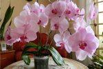 Миниатюра к статье Болезни орхидей фаленопсис и их лечение
