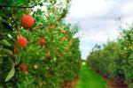 Миниатюра к статье Осенняя обработка яблонь от вредителей и болезней