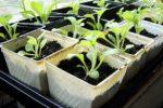 Миниатюра к статье Выращивание петунии экономно и компактно