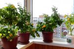 Миниатюра к статье Как вырастить помидоры на балконе?