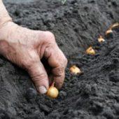 Миниатюра к статье Когда сажать лук севок в открытый грунт в 2017 году