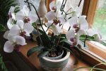 Миниатюра к статье Уход за орхидеей в домашних условиях