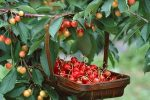 Миниатюра к статье Почему не плодоносит вишня?