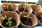 Миниатюра к статье Пикирование помидоров