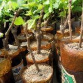 Миниатюра к статье Заготовьте черенки винограда — получите отличную лозу