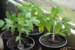 Миниатюра к статье Как вырастить рассаду помидор в домашних условиях