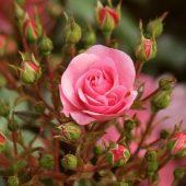 Миниатюра к статье Уход за розами весной