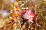 Миниатюра к статье Уход за розами осенью, подготовка к зиме