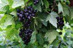 Миниатюра к статье Весенняя обработка кустов смородины