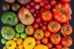 Миниатюра к статье Сортовой ассортимент помидор для тепличных условий