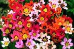 Миниатюра к статье Спараксис выращивание и уход в саду
