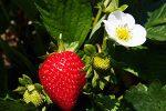 Миниатюра к статье Чем подкормить клубнику после плодоношения и обрезки?