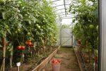 Миниатюра к статье Как ухаживать за помидорами в теплице, чтобы добиться отменного урожая?