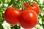 Миниатюра к статье Подкормка помидор во время цветения и завязывания