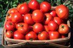 Миниатюра к статье Когда сажать, и как выращивать помидоры рассадным способом в теплице