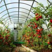 Миниатюра к статье Томаты в теплице — от семечка до помидорчика