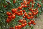 Миниатюра к статье Выращивание томатов в теплице из поликарбоната