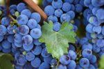 Миниатюра к статье Виноград «Изабелла» — гонимая иностранка