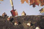 Миниатюра к статье Посадка тюльпанов осенью