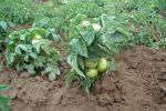 Миниатюра к статье Низкорослые томаты для открытого грунта и теплиц, урожайные и вкусные