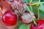 Миниатюра к статье Болезни вишни, описание, методы лечения