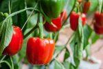 Миниатюра к статье Cекрет выращивания болгарского перца