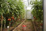 Миниатюра к статье Благоприятное время посадки помидоров в теплицы из поликарбоната