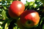 Миниатюра к статье Описание яблони «Жигулевское»(Фото, отзывы)