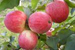 Миниатюра к статье Описание сорта яблони «Мельба»