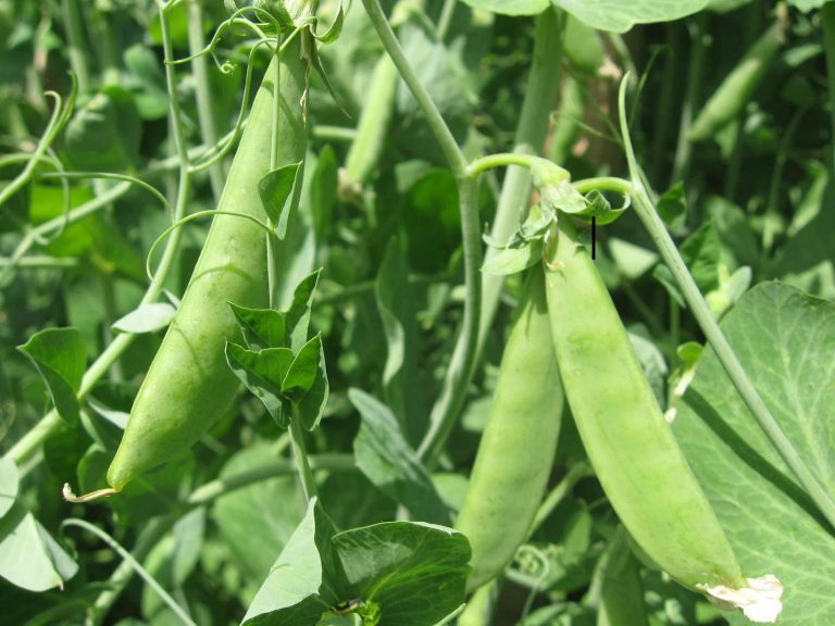 выращивание фасоли в теплице