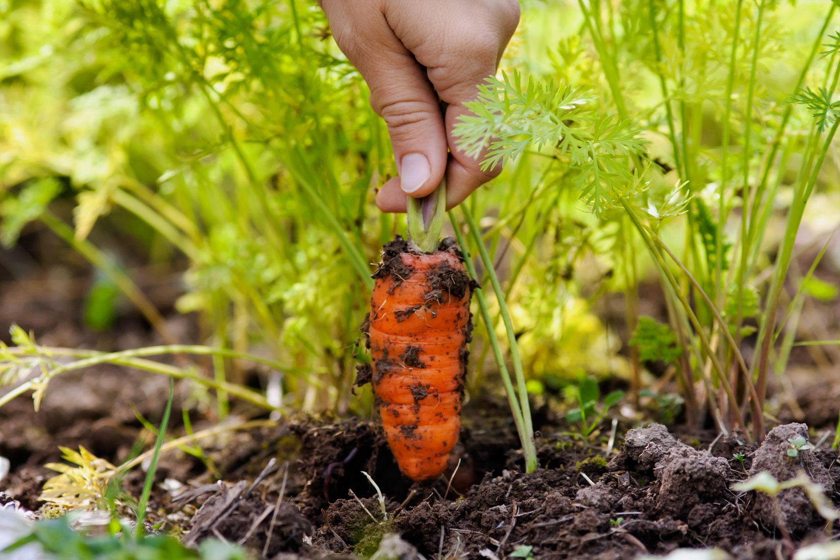 Выращиваем морковь правильно, чтобы получить хороший урожай