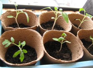 rassada-pomidor-6