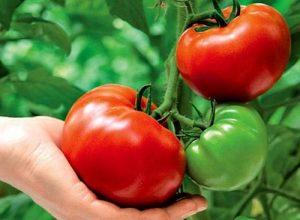 метод-маслова-в-выращивании-помидоров
