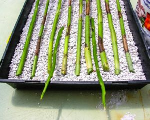орхидей Размножение черенками