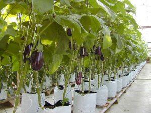 eggplants1