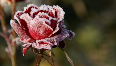 Уход за розами осенью, подготовка к зиме
