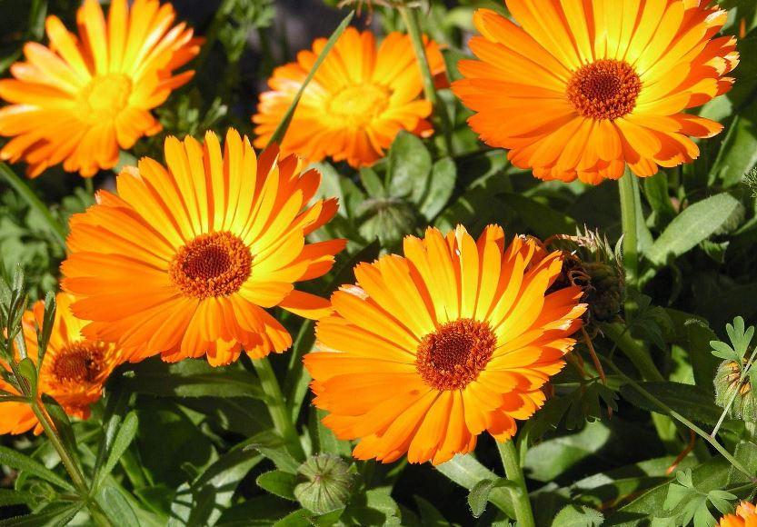 Как сажают цветы ноготки 56