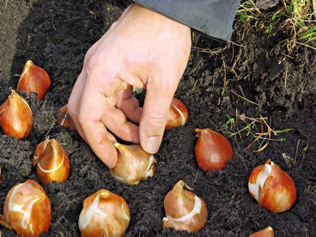 Посадка тюльпанов осенью в Подмосковье: время, сроки, правила 9
