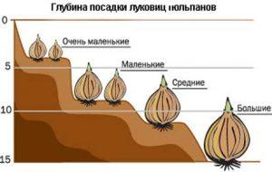 posadka_tulpanov