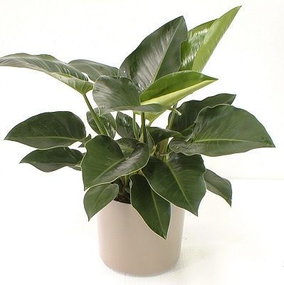 philodendron1_1