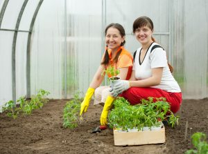 Выращивание-томатов-в-теплице