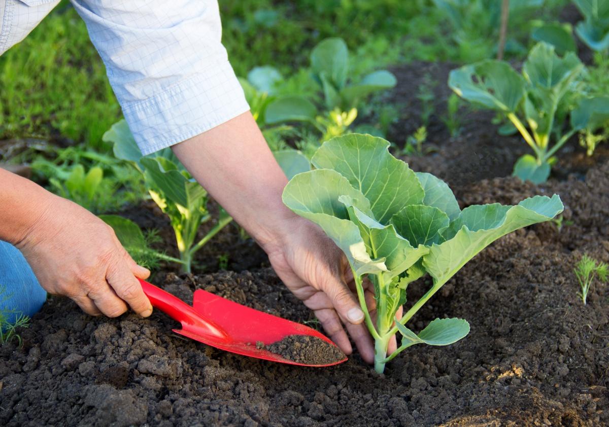 Чем подкормит рассаду капусты