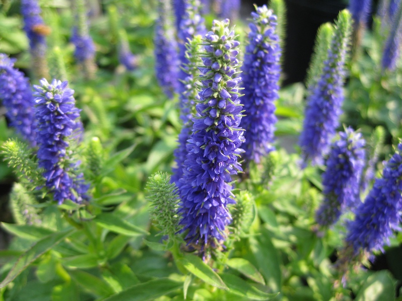 Veronica-spicata-Royal-Candles