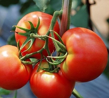 tomat-tayfun-f1-