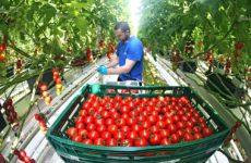 сорта томат для теплиц